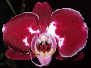 orchidea clitoride
